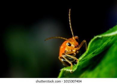 red cucurbit leaf beetle