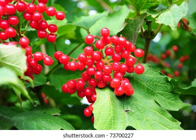 red currant as a background