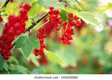 red currant berries, red currant leaves, red currant bush in the garden
