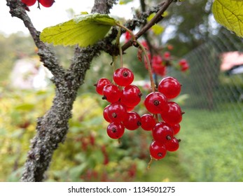 Red currant berries on a branch shot with short distance.