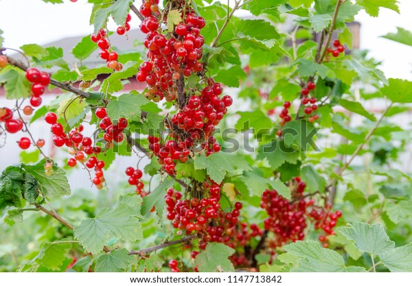 red currant berries on a branch in the garden