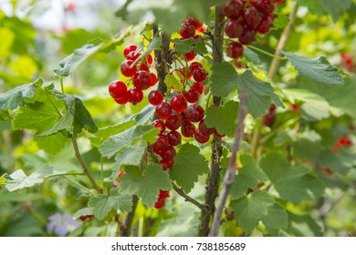 Red currant bunches of grapes hanging on a branch. We're now approaching the time of harvest.