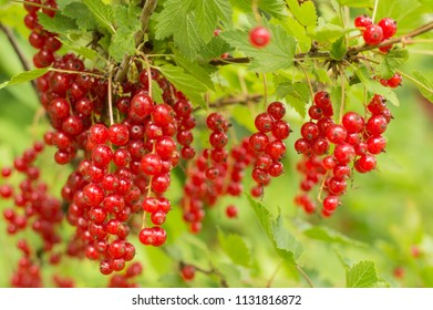 red currant in the garden.