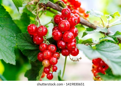 Red currant grows on a bush in garden. Ripe red currant close-up as background. Harvest the ripe berries of red currant. Bunch of red currant on a branch. Nature concept. A place for your inscription.