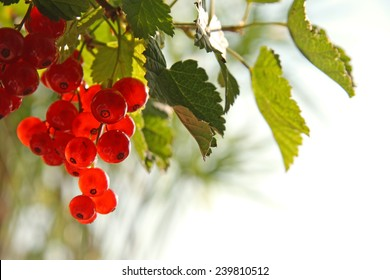 Red Currant hanging on a bush in the garden.