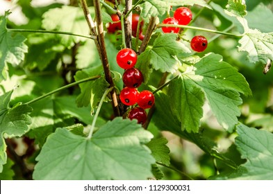 Red currant hanging on green bush