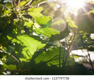 Red currant leaves close-up in sunlight