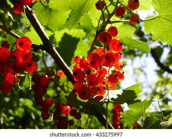 Red currant in the morning sun