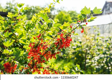 Red currant on the branch. Bush of red currant. Red berries on the branch