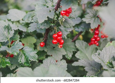 Red currant. Currant on a bush. Speet currant.