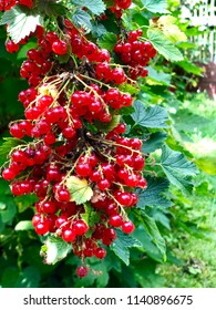 Red currant on the garden