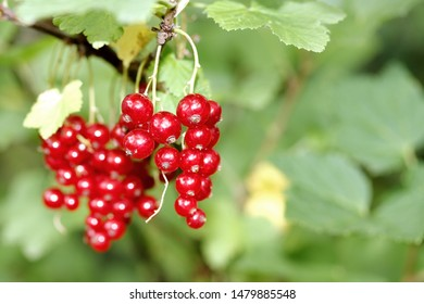 Red currant, pink currant berries on the bush, fresh fruit background. Close up currant plant