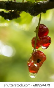 Red currant (Ribes rubrum) berry bunch with water droplets after the rain, in the sunlight. Close-up.