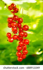 red currants around