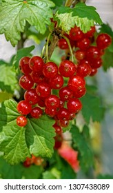 Red currants in a garden