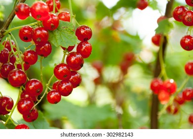 Red currants in the garden on a green background