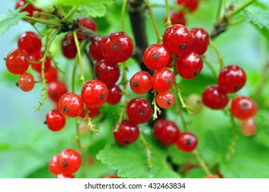 Red Currants In The Garden, Summer Harvest