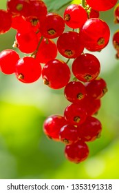 Red currants in the sun. Nature background