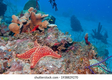 Red cushion sea star or West Indian sea star (Oreaster reticulatus) Roatan, Honduras