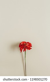Red cynicism flower on beige background. Flat lay, top view.