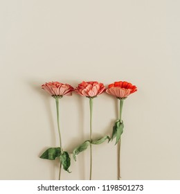 Red cynicism flowers on beige background. Flat lay, top view.