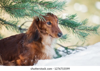 red dachshund dog posing outdoors in winter