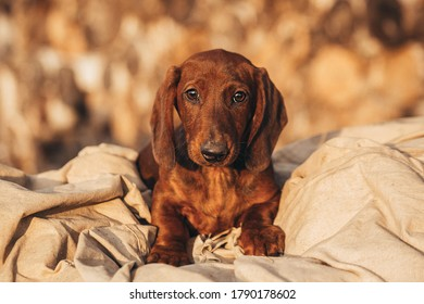 red Dachshund puppy. Dachshund on a woody background. Puppy breed Dachshund lies. Dog on the background of firewood