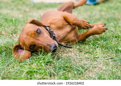 red dachshund resting on green grass. Red Dog. Pet