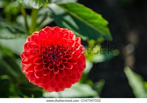 Red Dahila flower close up