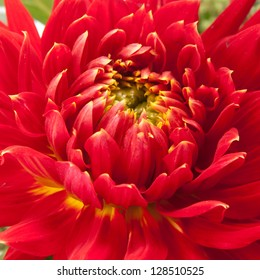 red dahlia background