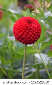 Red dahlia blooming