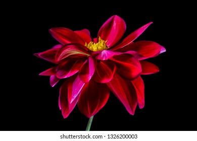 red dahlia blossom macro