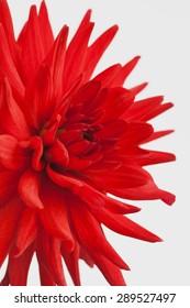 Red dahlia, Cactusdahlia