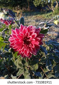 Red dahlia covered with frost.