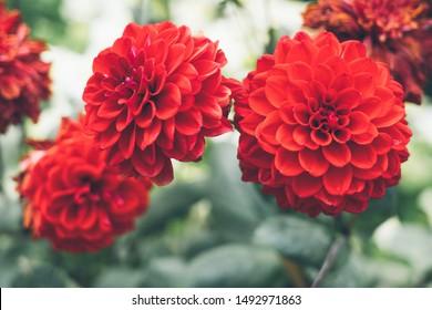 Red dahlia flower bokeh blackground