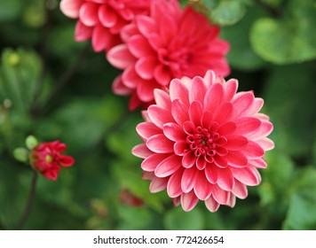 Red dahlia flower - Close up image with dahlia flower