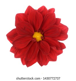Red Dahlia flower isolated on whitte
