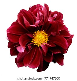 Red dahlia. Flower on a white  isolated background with clipping path.  For design.  Closeup.  Nature.
