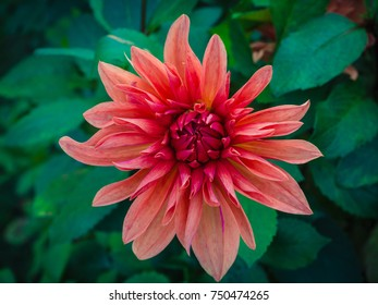 Red dahlia in the garden with blurred green background.