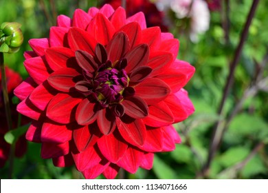 Red dahlia in the garden on a green background