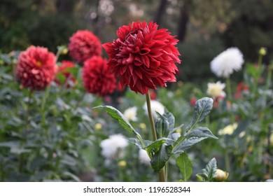 Red dahlia in park
