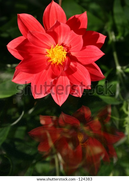 red dahlia reflection