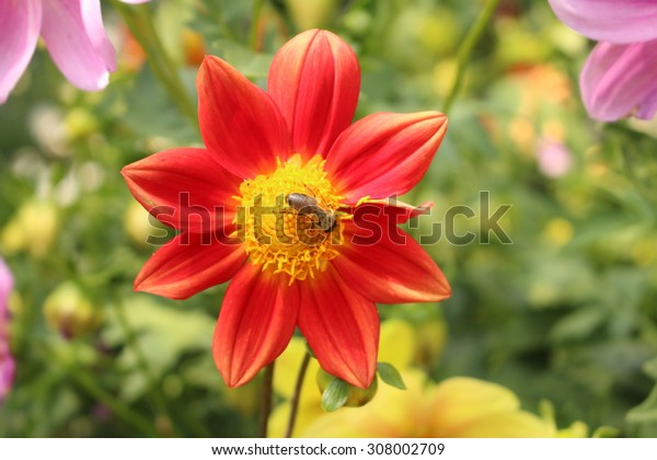 """Red """"Dahlia Single Fimbriated Seedling"""" flower with bee in Innsbruck, Austria. It is classified as """"Single Flowered Dahlia"""" and native to Mexico."""