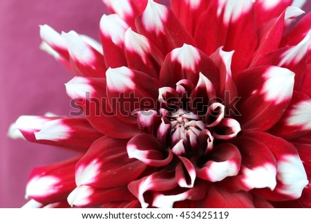 Red dahlia white tips stock photo edit now 453425119 shutterstock red dahlia with white tips mightylinksfo