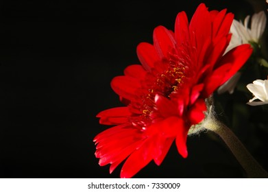 Red Daisy with focus on center on black background
