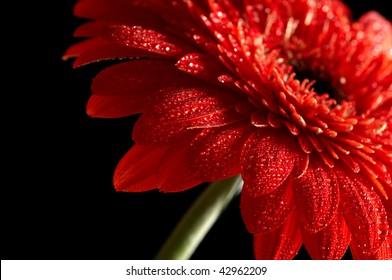 Red daisy-gerbera on black background