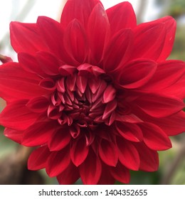 Red Dalia flower closer shot