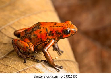 red dart frog Oophaga histrionica from the tropical rain forest of Colombia. A poisonous small jungle animal.  Toxic poison dartfrog with warning colors