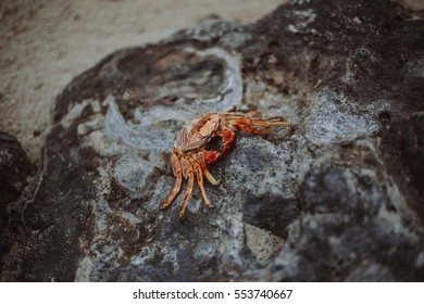 Red dead crab on a rock