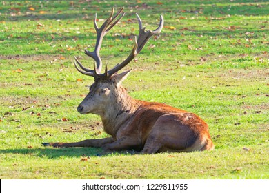 Red Dear stag laying down in the autumn sunshine